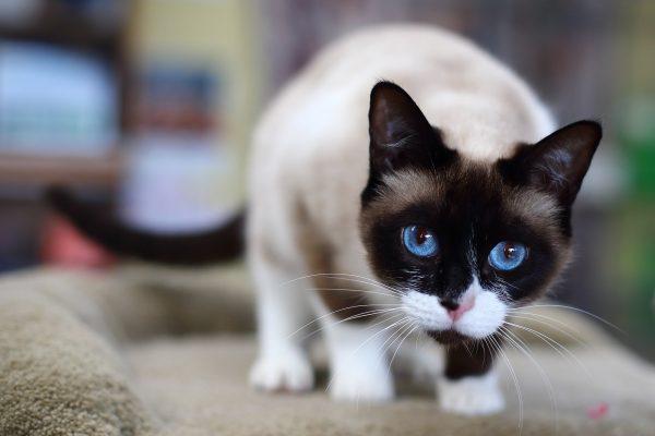 Синеглазая кошка породы сноу шу с белыми подушечками усов