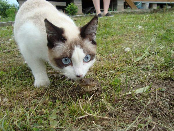 Светлая кошка сноу шу нюхает лягушку