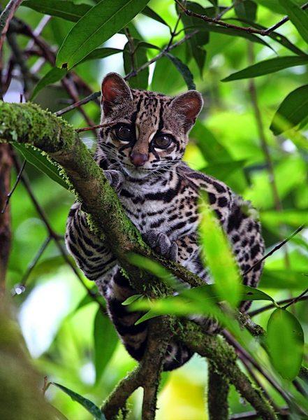 Малая пятнистая кошка на дереве