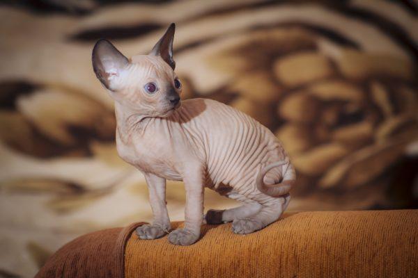 Маленький котёнок донского сфинкса