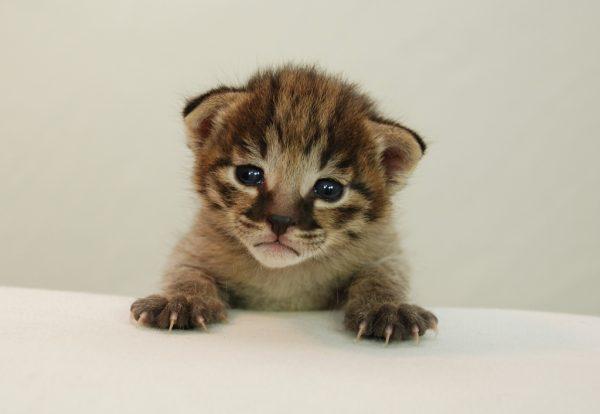 Маленький котёнок саванны