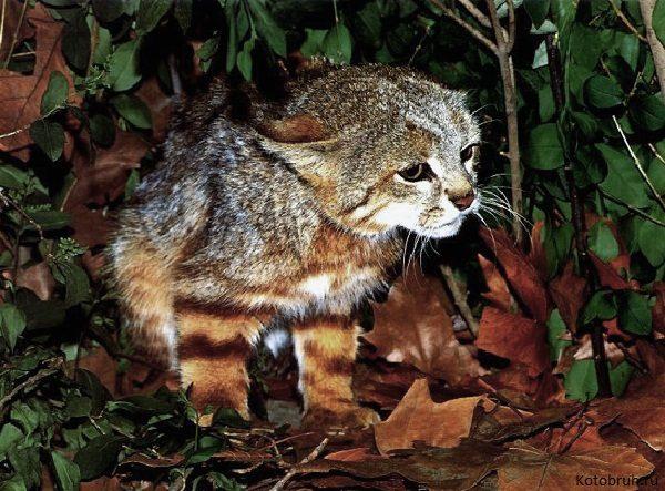 Малыш пампасской кошки