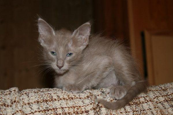 Малыш яванской кошки