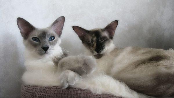 Две балинезийские кошки лежат рядом