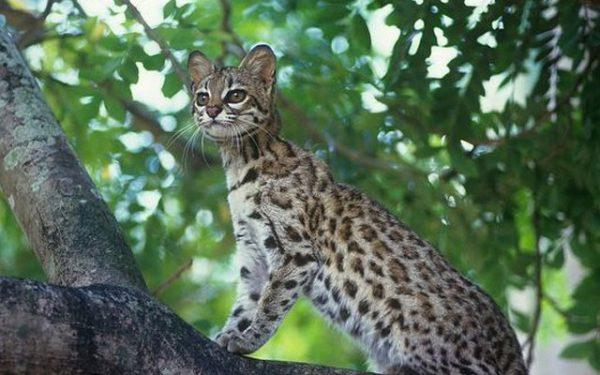 Тигровая кошка на ветке
