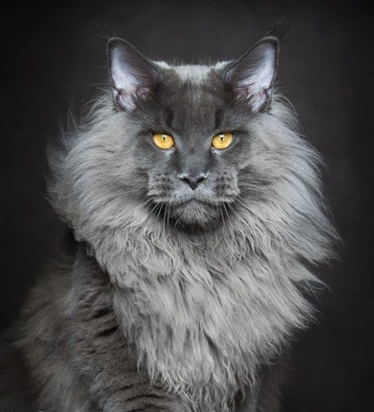 Голова серого мейн-куна
