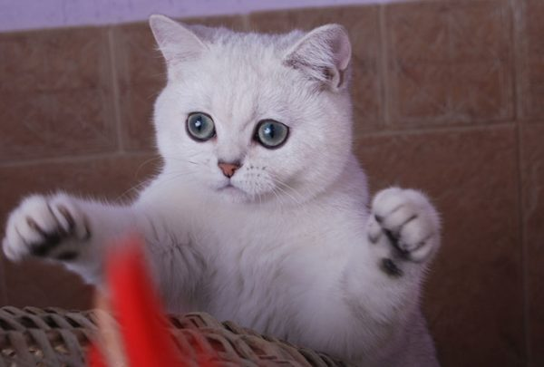 Милый котёнок шиншиллы играет