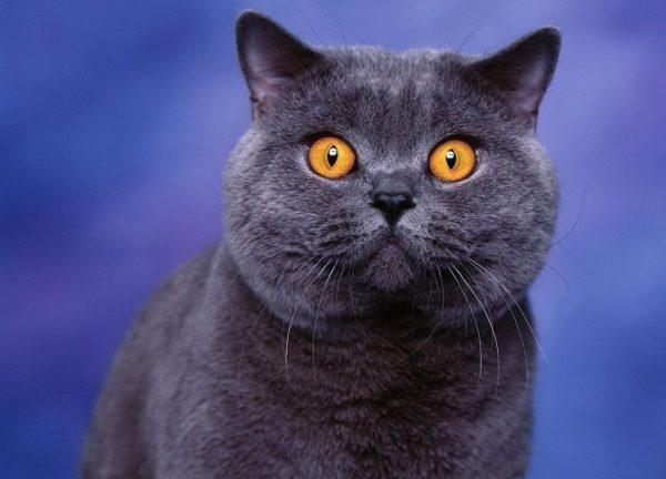 Морда британской кошки
