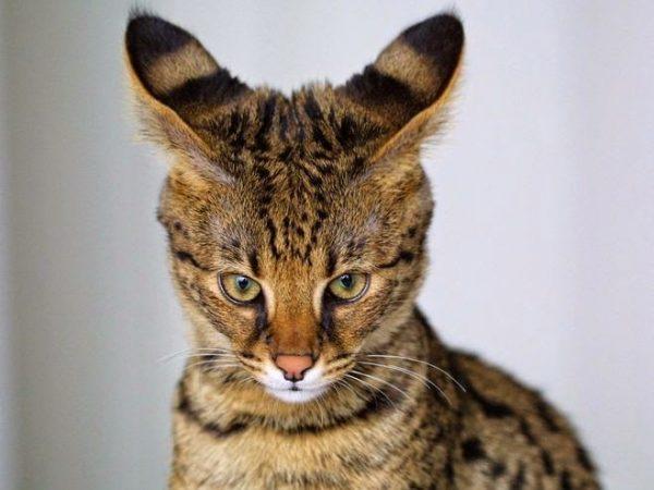 Морда кошки саванна