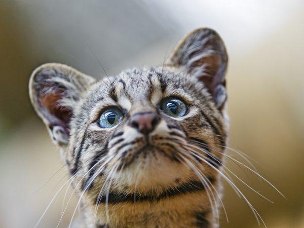 Морда кошки Жоффруа
