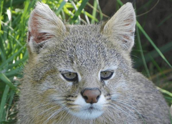 Морда пампасской кошки