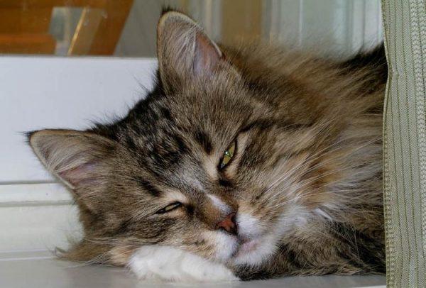 морда пушистого кота с закрытыми глазами