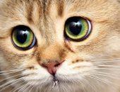 морда рыжего кота с большими зелёными глазами