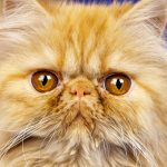 Морда рыжего персидского кота