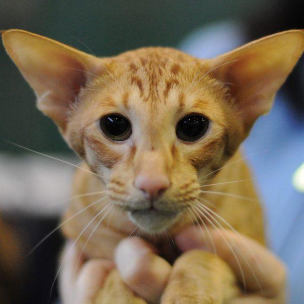 Мордочка рыжего яванского кота