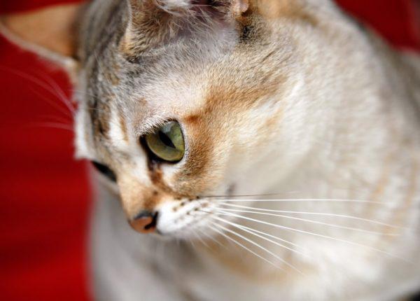 Мордочка сингапурской кошки