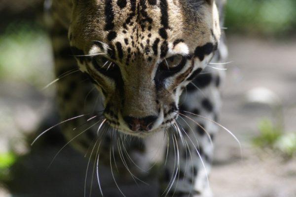 Мордочка тигровой кошки