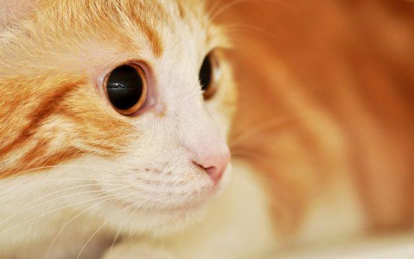 Рыже-белая кошка с большими оранжевыми глазами