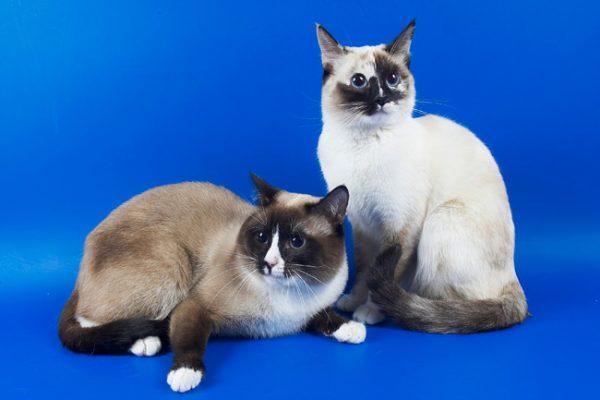 Две кошки сноу шу с пятнистыми мордочками