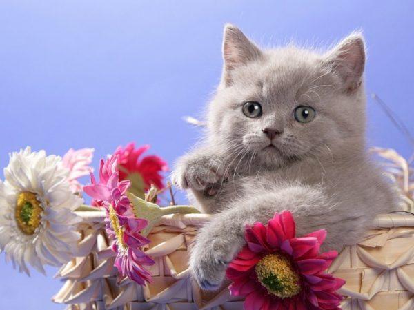 Британский котёнок в корзине с циниями