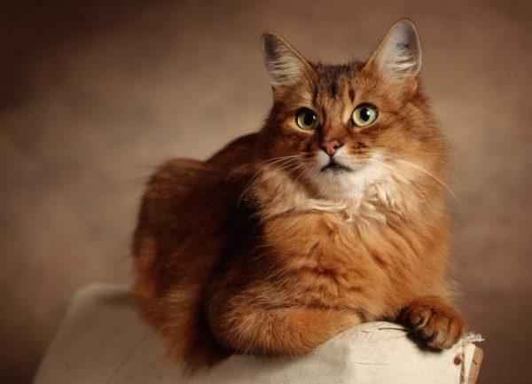 Рыжий кимрийский кот сидит на спинке кресла