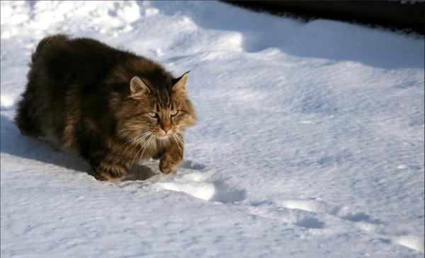 Норвежская лесная кошка идёт по снегу