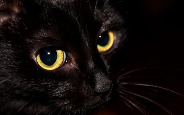 морда желтоглазой чёрной кошки крупным планом