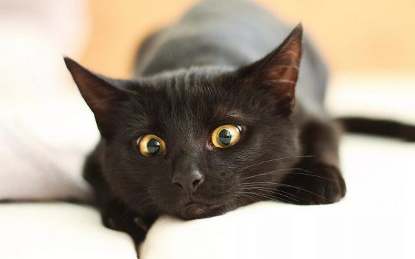 чёрная желтоглазая кошка лежит на подушке