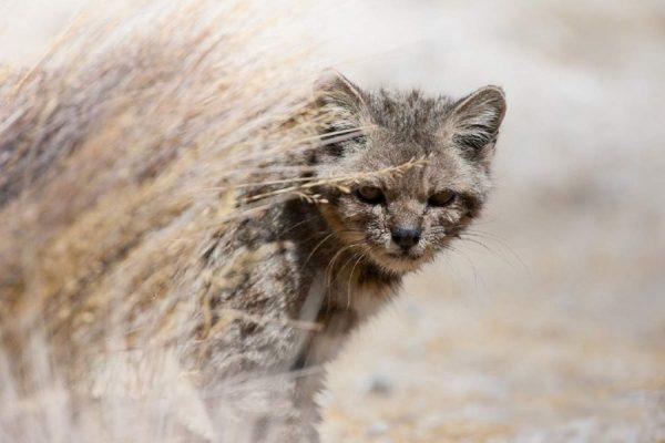 андская кошка выглядывает из-за выгоревшей травы