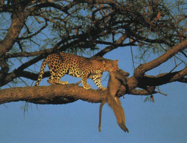 Леопард на дереве с добычей