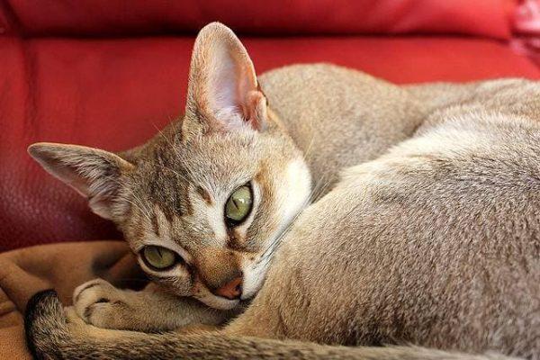 Окрас сингапурской кошки