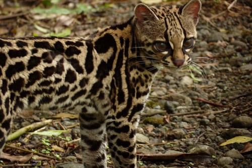 Окрас тигровой кошки