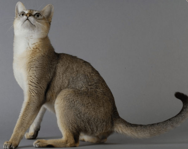 Окультуренный сингапурский кот