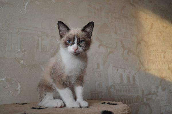 Котёнок сноу шу с тёмным пятнышком на подбородке