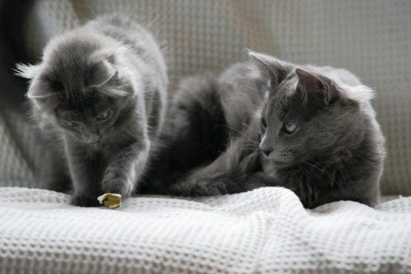 Кошка нибелунг и её котёнок