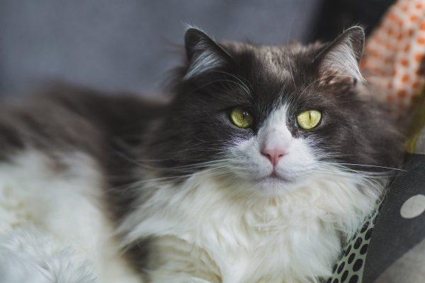 Красивая двухцветная кошечка кимрийской породы с зелёными глазами
