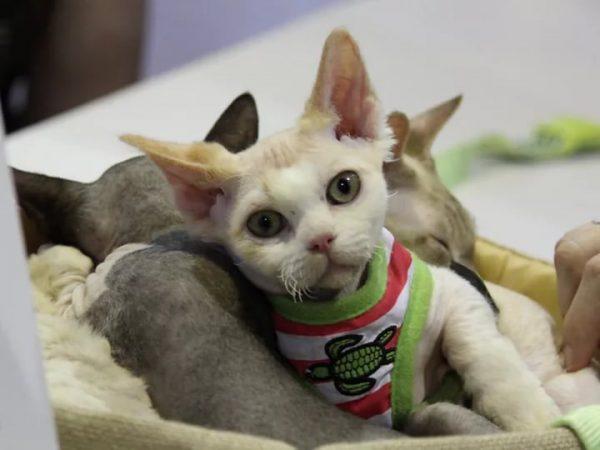Светлый котёнок минскина с жёлтыми ушами в жилетке