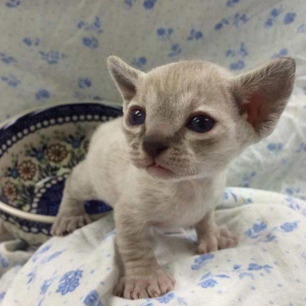 Серый котёнок породы минскин на цветастом одеяле