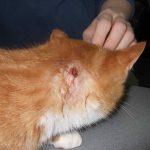 абцесс за ухом рыжего кота