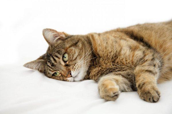 зеленоглазая кошка лежит на боку на белой простыни