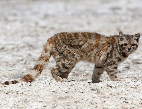 андская кошка идёт по серым камням