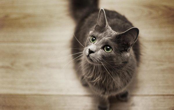 Кошка породы нибелунг стоит на паркетном полу и смотрит вверх