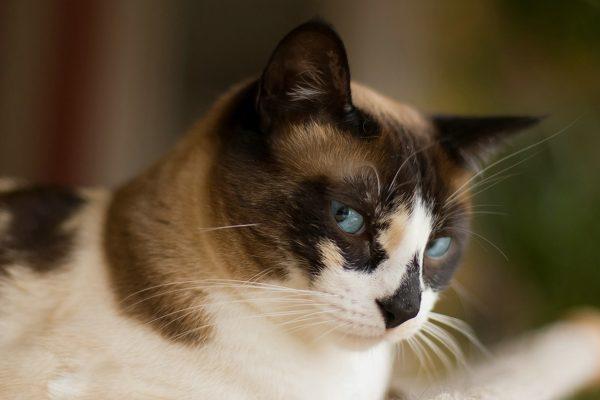 Черепаховый кот породы сноу шу