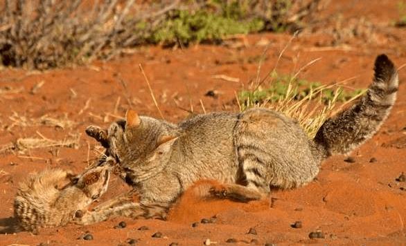 Пампасская кошка атакует