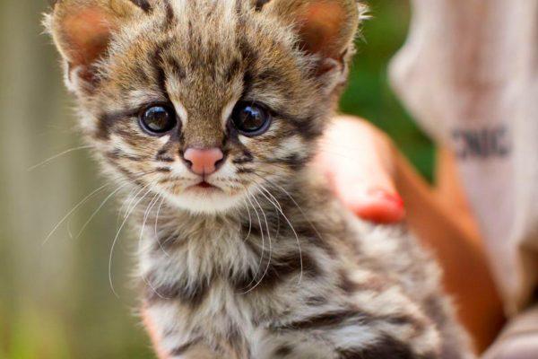 Пампасская кошка, котёнок