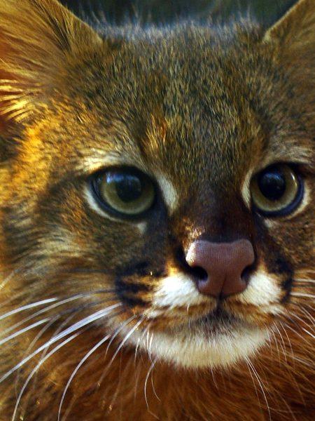 Пампасская кошка крупным планом