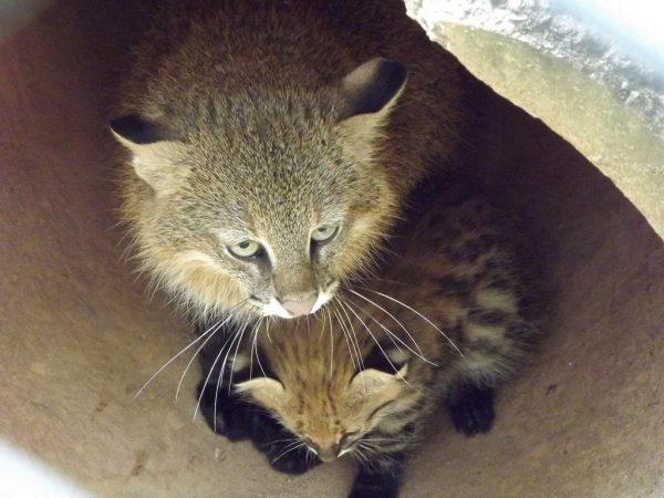 Пампасская кошка с котёнком
