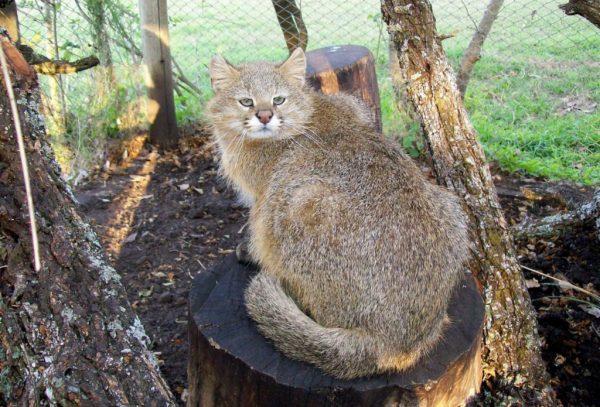 Пампасская кошка сидит