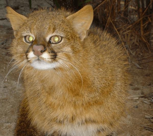 Пампасская кошка стоит