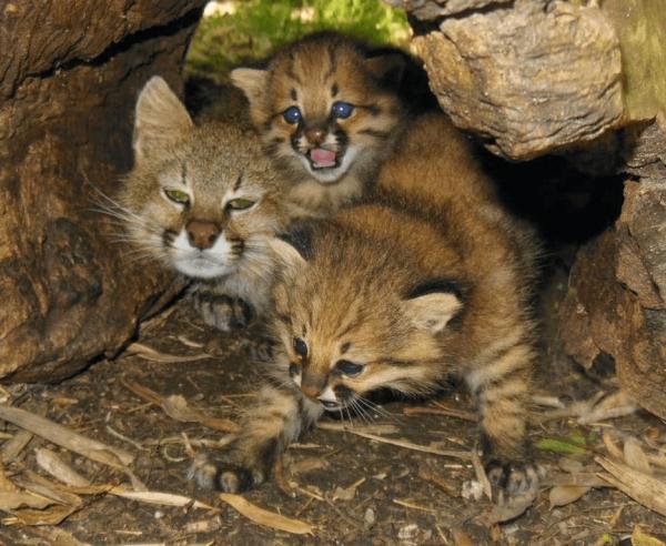 Пампасская кошка в логове